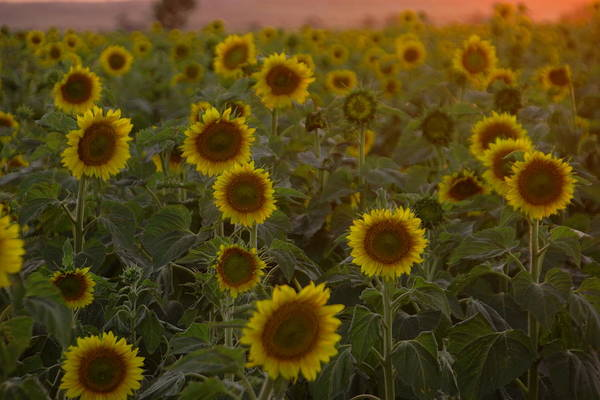 Sunflower Seeds Photograph - Dreaming In Sunflowers by Jeff Swan