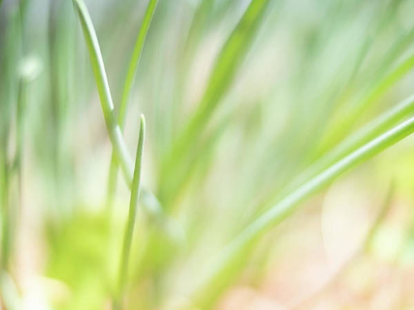 Photograph - Dreaming Of Chives by Bob Orsillo