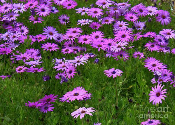 Dreaming Of Purple Daisies  Art Print