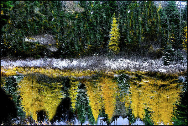 Photograph - Dreams Of A Young Tamarack by Wayne King