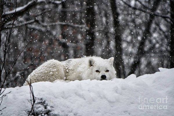 Arctic Wolves Photograph - Dreams Of Warmer Weather by Heather King