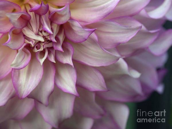 Photograph - Dreamy Dahlia In Purple by Patricia Strand