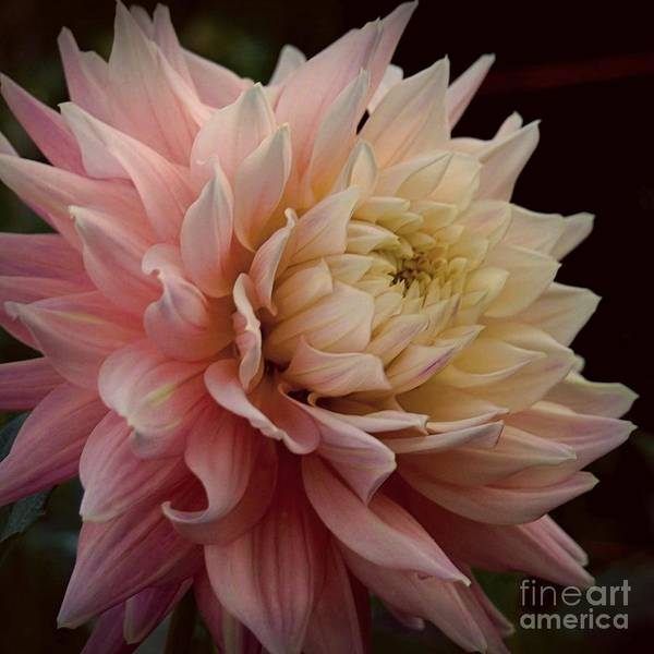 Photograph - Dreamy Dahlia On Black by Patricia Strand