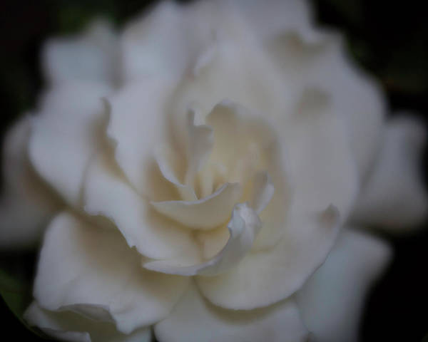 Photograph - Dreamy Gardenia by Teresa Wilson