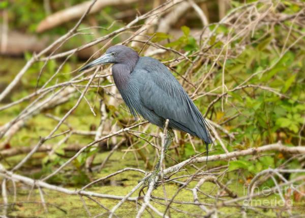 Little Blue Heron Photograph - Dreamy Little Blue Heron In The Marsh by Carol Groenen