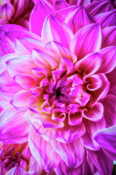 Wall Art - Photograph - Dreamy Pink Dahlia by Garry Gay