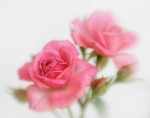 Wall Art - Photograph - Dreamy Pink Roses by David and Carol Kelly