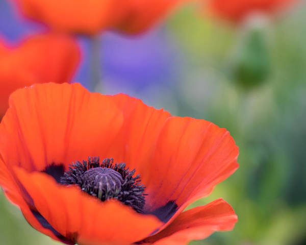 Photograph - Dreamy Poppies by Tracy Munson