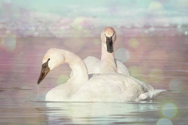 Photograph - Dreamy Swans #1 by Patti Deters