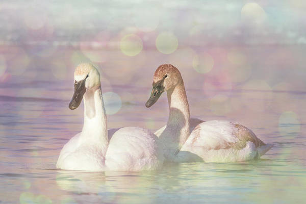 Photograph - Dreamy Swans #2 by Patti Deters