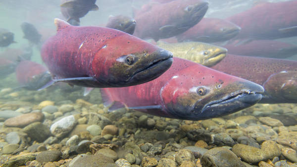 Chinook Salmon Photograph - Dressed For Spawning Season by Tim Grams