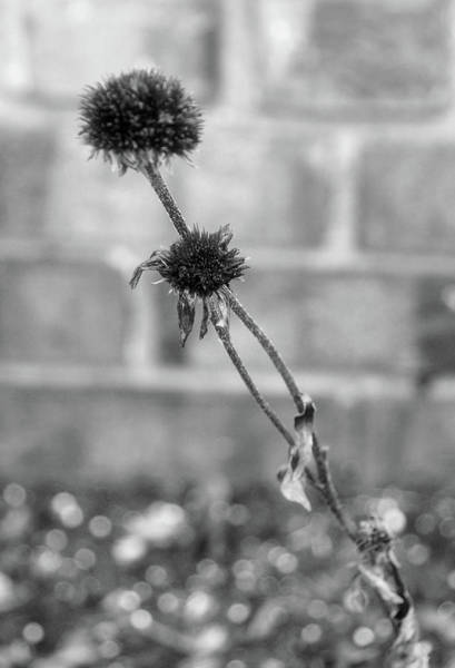 Photograph - Dried Daisy by Cate Franklyn