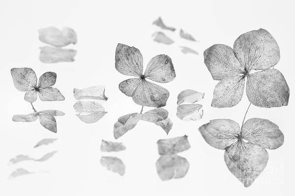 Wall Art - Photograph - dried Hydrangea flowers by Masako Metz