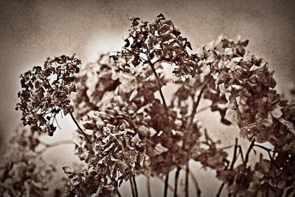 Photograph - Dried Hydrangeas by  Onyonet  Photo Studios