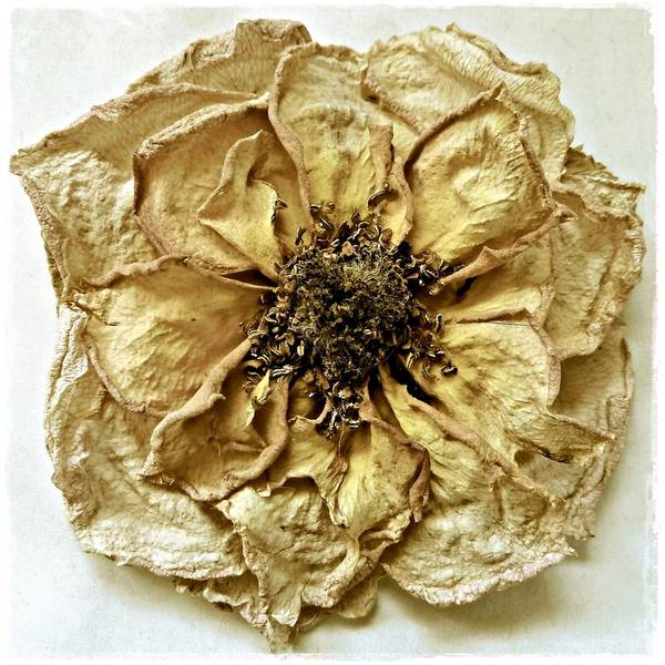 Photograph - Dried Rose Study by Patricia Strand