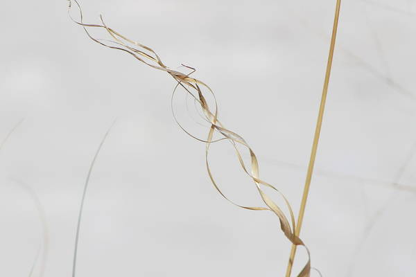Photograph - Dried Spiral Grass In White Sands by Colleen Cornelius