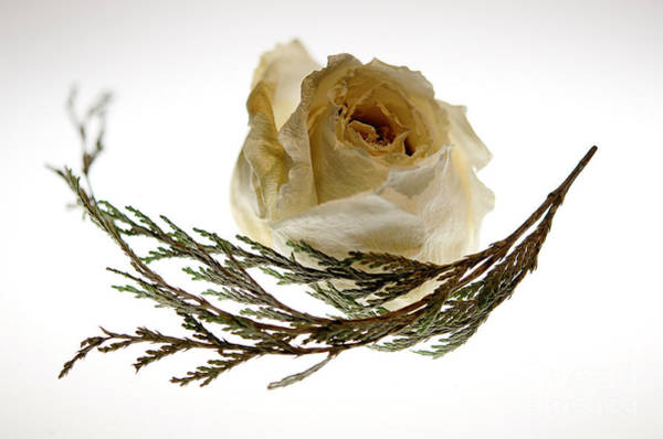 Photograph - Dried White Rose by Lois Bryan