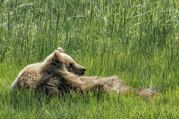 Photograph - Drifting Off - Bear Cubs, No. 7 by Belinda Greb
