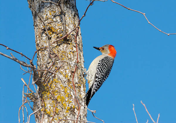 Red Bellied Woodpecker Photograph - Drilling by Betty LaRue