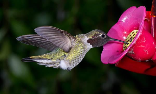 Hummingbird Feeder Photograph - Drink Deep by Greg Nyquist