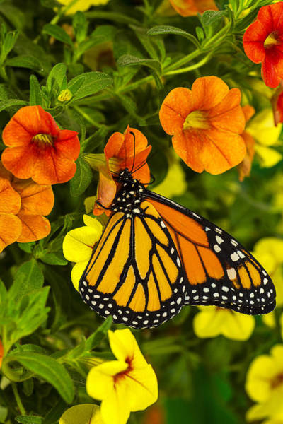 Monarch Butterflies Photograph - Drinking From A Flower by Garry Gay