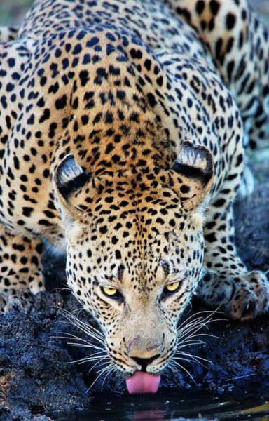 Photograph - Drinking Leopard by Matt Cohen