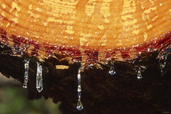 Figueroa Mountain Photograph - Dripping Sap - Catway Road by Soli Deo Gloria Wilderness And Wildlife Photography