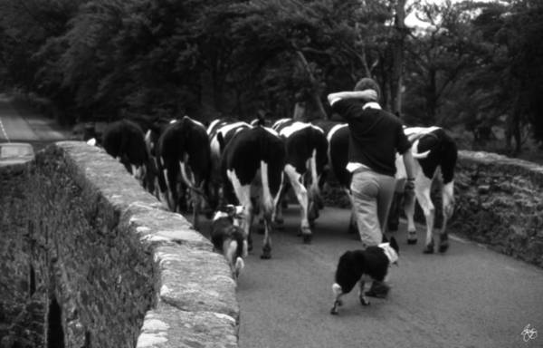 Photograph - Driving The Cows Monochrome by Wayne King