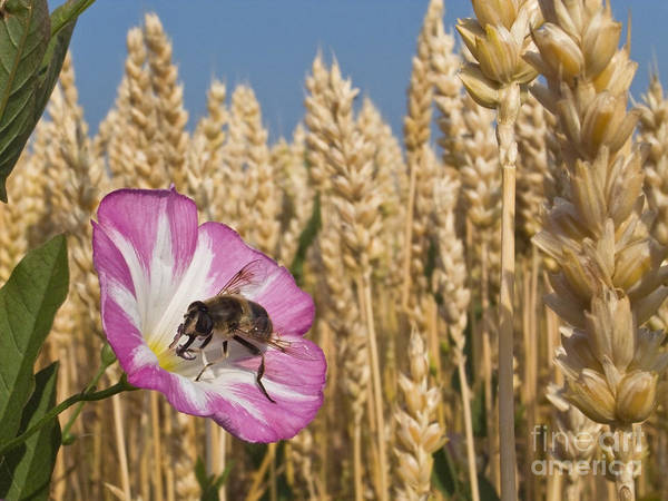 Convolvulaceae Wall Art - Photograph - Drone Fly On Bindweed by Jean-Louis Klein & Marie-Luce Hubert