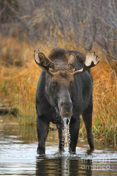 Drool Photograph - Drooling Bull Moose by Adam Jewell