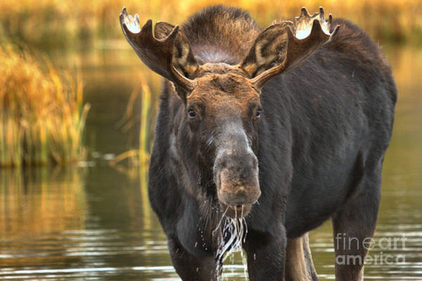 Drool Photograph - Drooling Moose by Adam Jewell