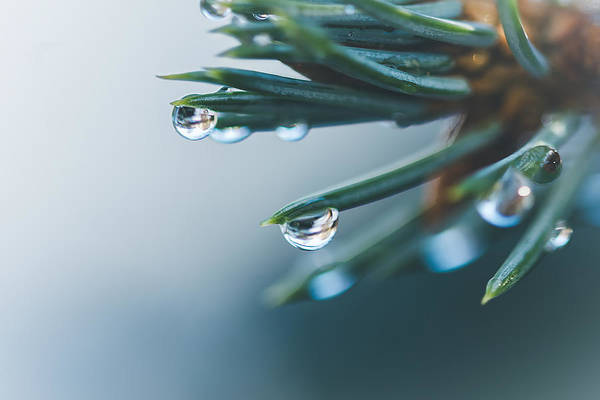 Pine Needle Photograph - Droples by Cindy Grundsten