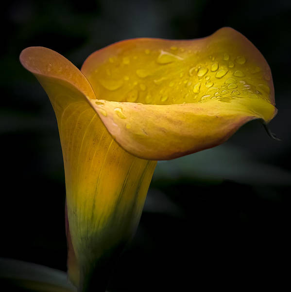 Mangos Photograph - Droplets On Mango Lily by Julie Palencia