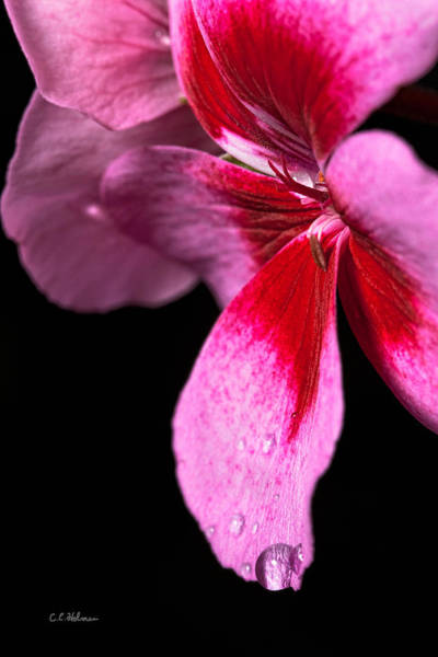 Photograph - Droplets On Pink by Christopher Holmes