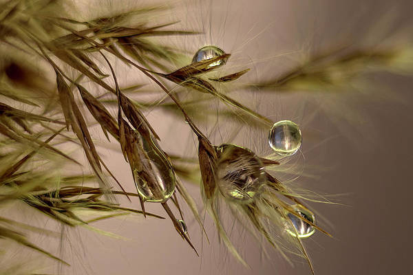 Photograph - Drops On Fine Grass  by Wolfgang Stocker