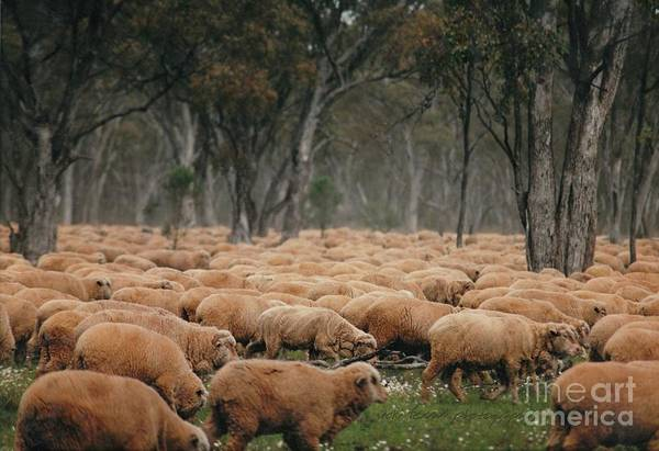 Droving Sheep  At Albert Australia Art Print