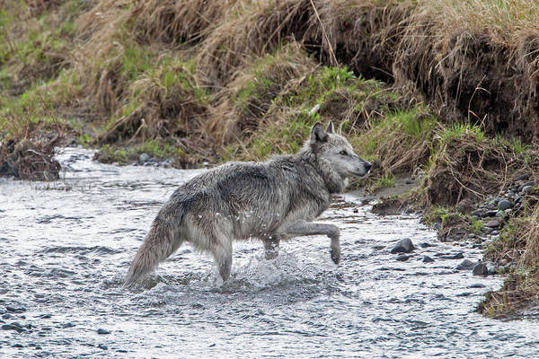 Photograph - Druid Wolf 21m In Soda Butte Creek by Mark Miller