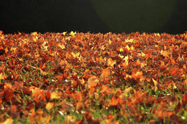 Photograph - Dry Maple Leaves Covering The Ground by Emanuel Tanjala