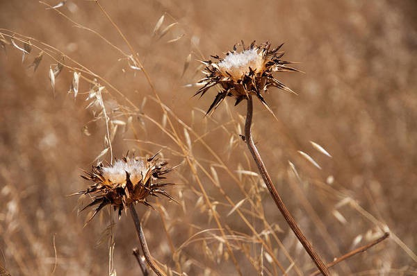 Photograph - Dry Thistle And Grass by Robert Potts