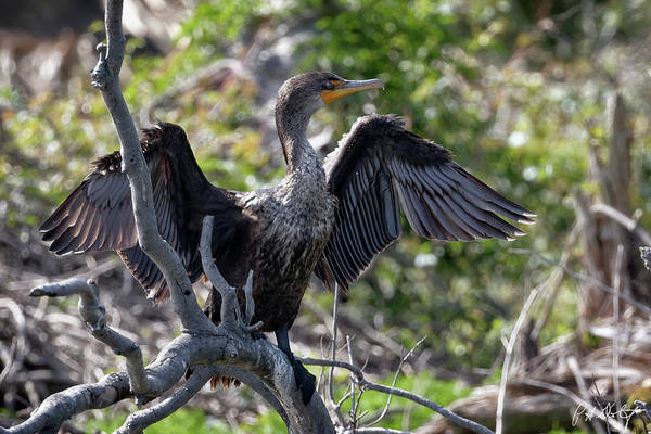 Double Crested Cormorant Photograph - Drying The Wings by Phill Doherty