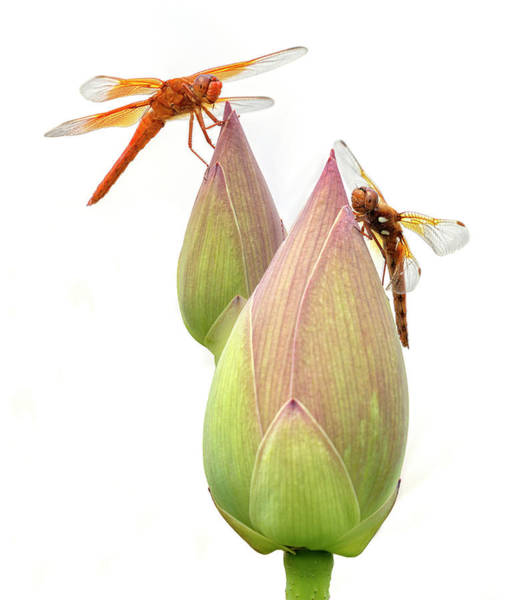 Photograph - Dual Dragonflies by Wes and Dotty Weber