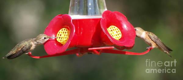 Photograph - Dual Feeding Hummingbirds by Vivian Martin