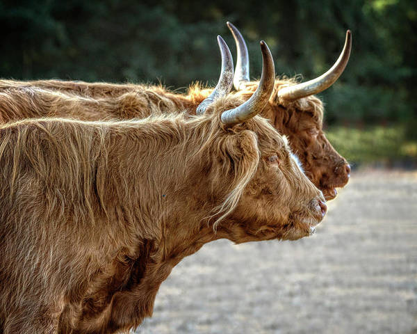 Photograph - Dual Highlanders by Wes and Dotty Weber