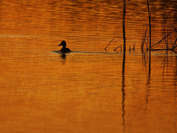 Photograph - Duck Away by Charles McKelroy