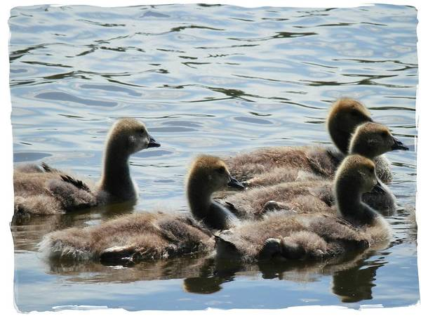 Photograph - Duck Babies On The Water by Deborah Kunesh