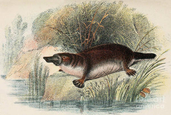 Duck Meat Photograph - Duck-billed Platypus O. Anatinus by Biodiversity Heritage Library