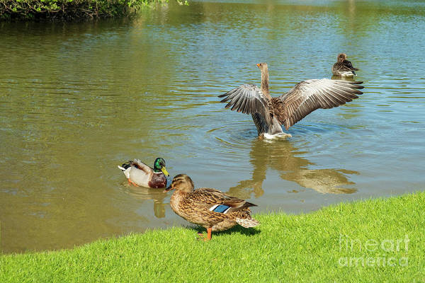 Photograph - Duck Games by Marina Usmanskaya