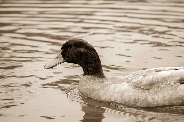 Photograph - Duck In Pond by Keith Smith