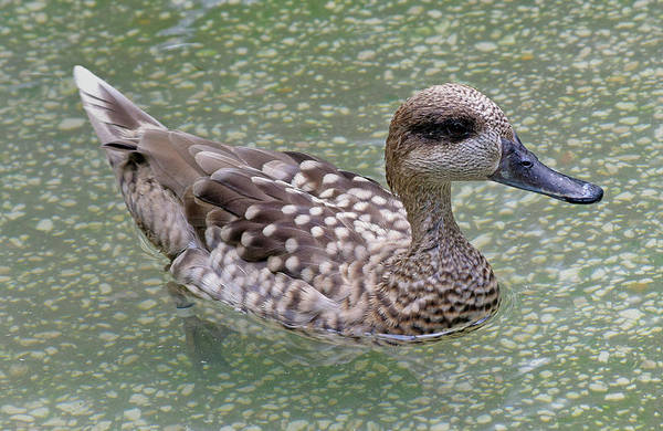 Photograph - Duck by Larah McElroy