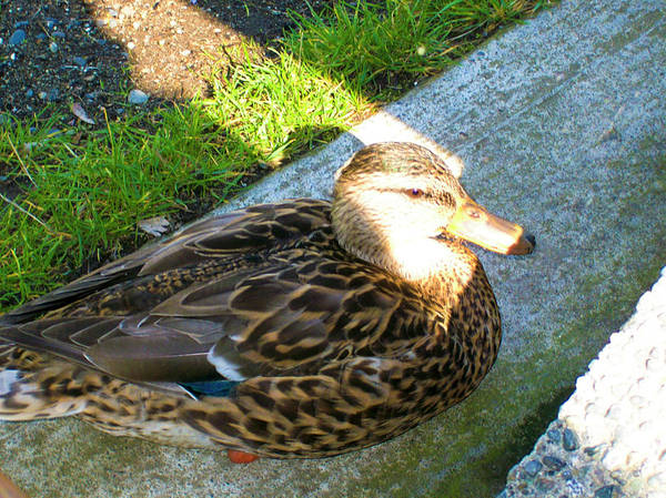 Photograph - Duck Melanie Tweed In  The Sun by Donna L Munro